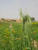 the green wheat by nisfor