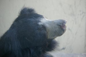Sloth bear 3 by Silver-she-wolf-14
