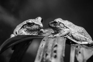 Frogs by roarbinson