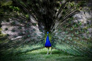 Peacock II by SweeneyTenoh
