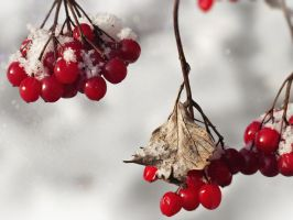 Red Berries In The Snow by VBmonkey26