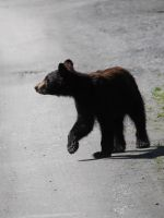 Black Bear Cub Stock 2 by prints-of-stock