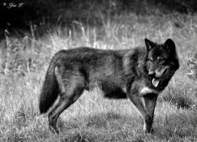 black wolf by Yair-Leibovich