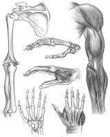 Upper limb bones and muscles by Ziddius