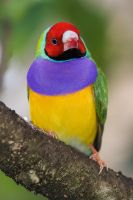 Lady Gouldian by secondclaw