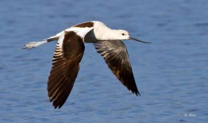 Avocet by Grouper