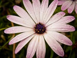 Flower in the rain by Sonia-Rebelo
