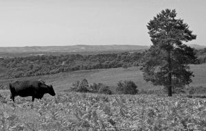 view of cow and tree by spurs06