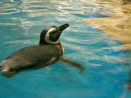 Penguin swimming at the Shedd Aquarium in Chicago by theocfan15