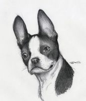 Boston Terrier by RobtheDoodler