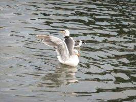 Seagull Reflections by citreneowl