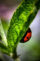 Seven-spotted Ladybird by linneaphoto