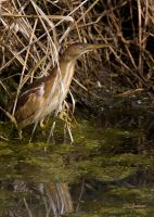 Not last  Least bittern by DGAnder