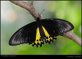 Troides Helena by log1t3ch