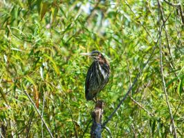 Green Heron (juvenile) by AppleBlossomGirl