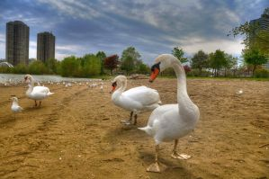 Swan up by RavenGraphics