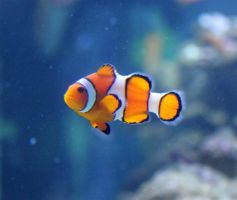 Clownfish Stock by firenze-design