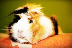 Guinea Pig by vithium