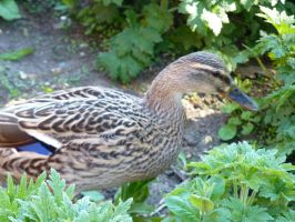 Another Duck. by Rasylver