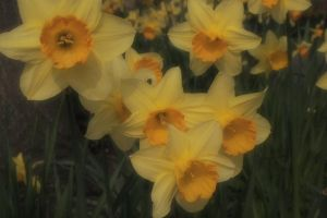 Daffies by MissKittyTwisted