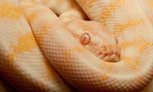 Albino Carpet by ambushreptiles