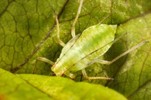 Aphid 01 by s-kmp