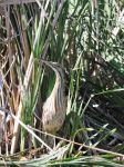 can you spot the american bittern? by rutting
