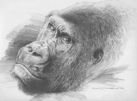 Gorilla - Pencil Study by denismayerjr