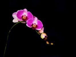 orchid by KariLiimatainen