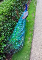 Peacock Along the Path by FlamingSerpent
