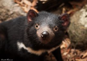 Tasmanian Devil Look at Me by DanielleMiner