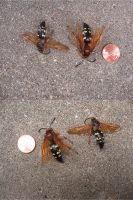 Cicada Killer Wasps by Shoofly-Stock