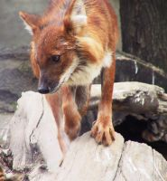 Dhole 01 by FoxRAGE-Stock