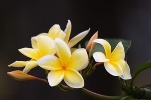 Frangipani by secondclaw
