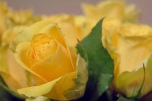 Yellow rose by Arichy