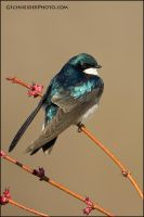 Tree Swallow on maple buds by gregster09