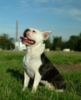 Boston Terrier with white head by Fleischparade