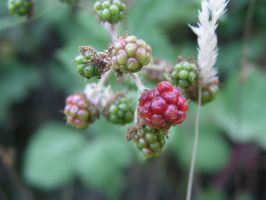 Berries II by FoxPhotos
