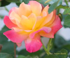 Josephs Coat Rose by Rjet33