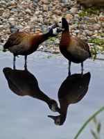 White faced whistling duck  00 - Jun 12 by mszafran