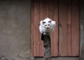 Cat On A Fence by Teophoto