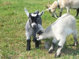 Baby Goats by Brent5544