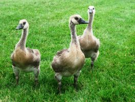 A GAGGLE OF GEESE SOON FOR NOW A GIGGLE OR THREE by Sugaree33-Art