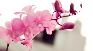 Pink Orchid 3 by pu3w1tch