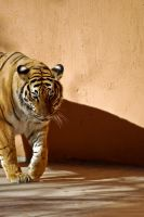 01090 Bengal Tiger by Yellowstoned