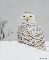 Snowy Owl 2 by Les-Piccolo