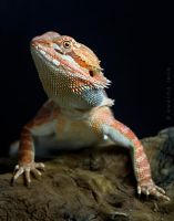 Bearded dragon by FerBarchetta