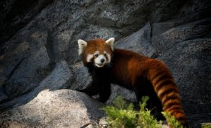 Red Panda by cooperfotography
