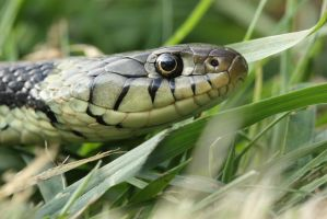 Grass snake in grass by AngiWallace