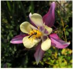Small Dragonfly On A Columbine by JocelyneR